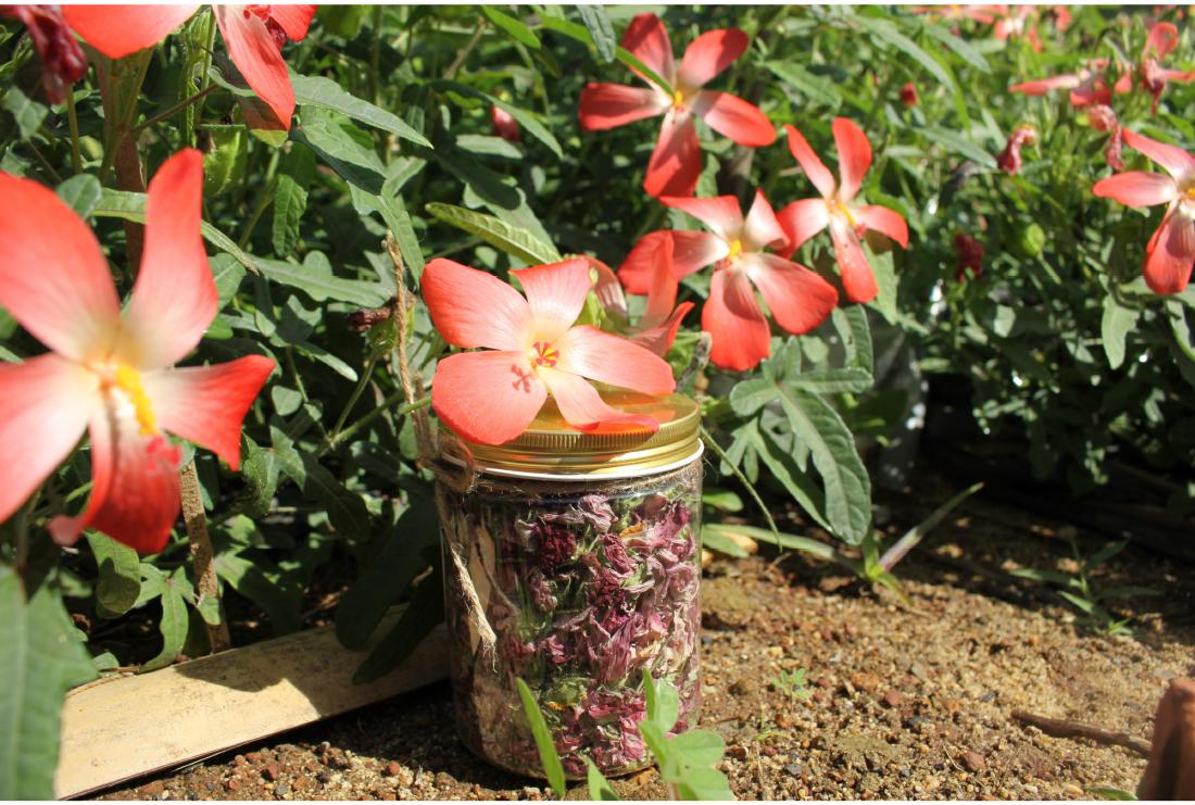 Sâm Bố Chính nở hoa rực rỡ trên đất Quảng Ngãi ảnh 23