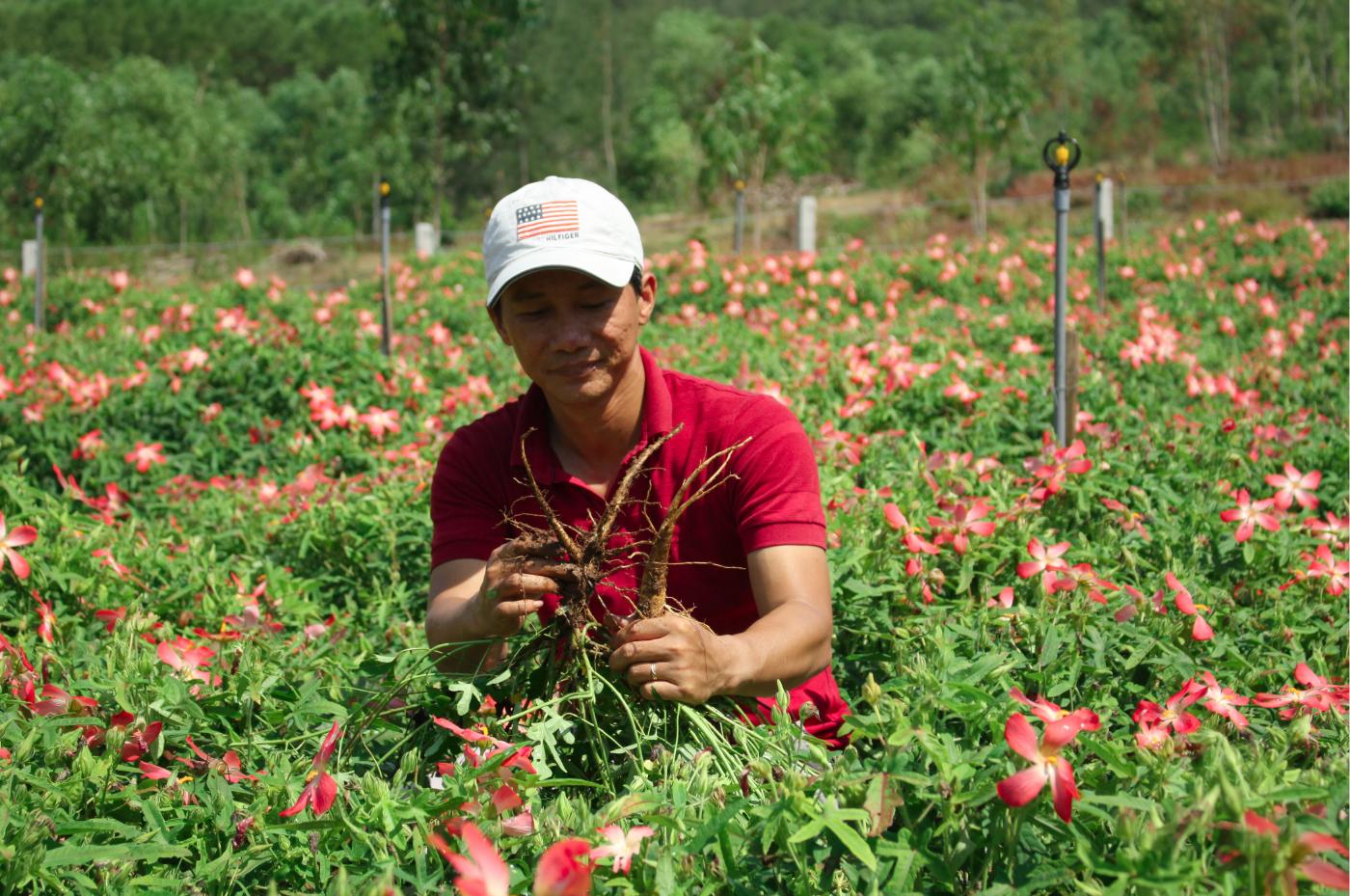 Sâm Bố Chính nở hoa rực rỡ trên đất Quảng Ngãi ảnh 33
