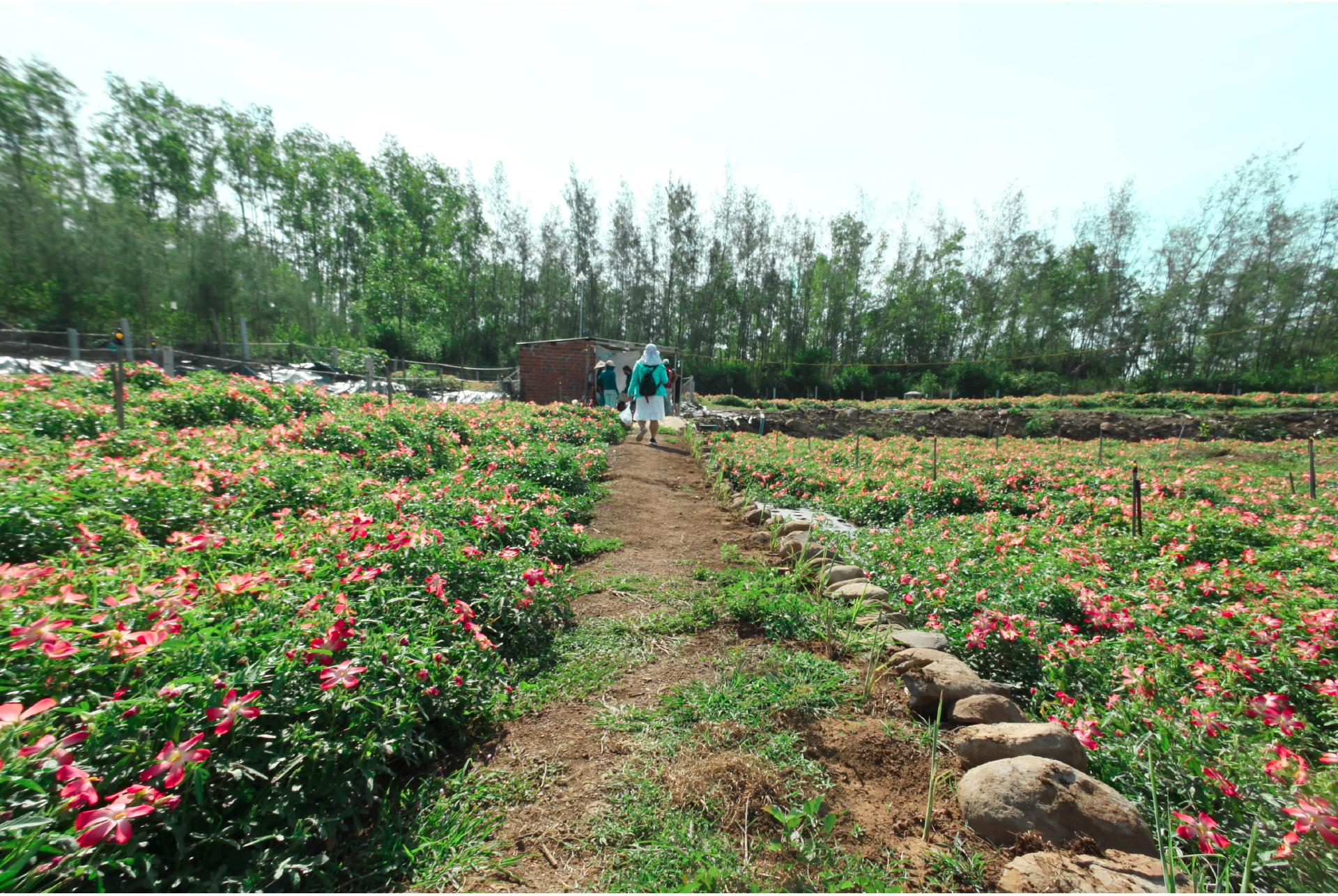 Sâm Bố Chính nở hoa rực rỡ trên đất Quảng Ngãi ảnh 42