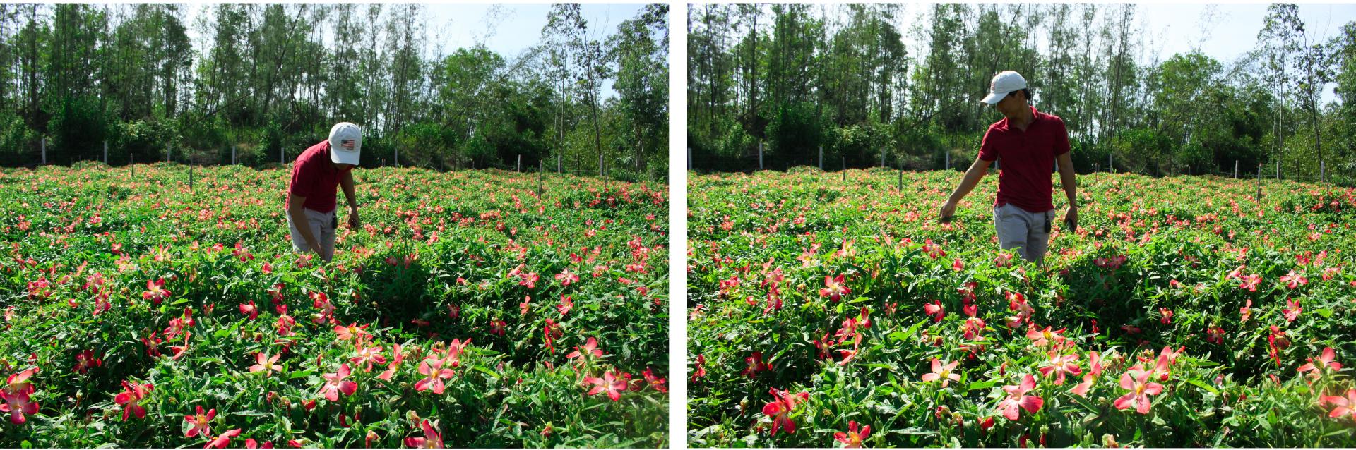 Sâm Bố Chính nở hoa rực rỡ trên đất Quảng Ngãi ảnh 8