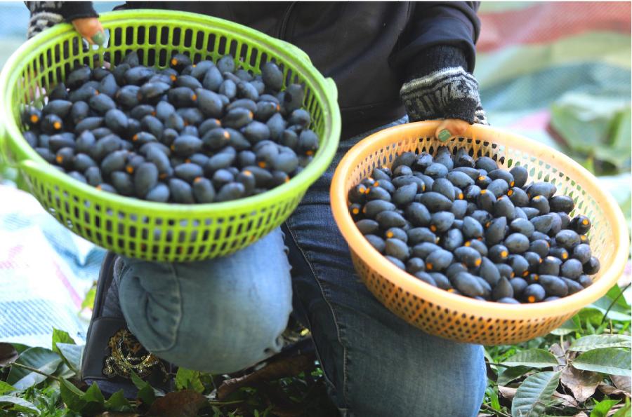 Hà Tĩnh vào mùa thu hoạch quả trám đen ảnh 31