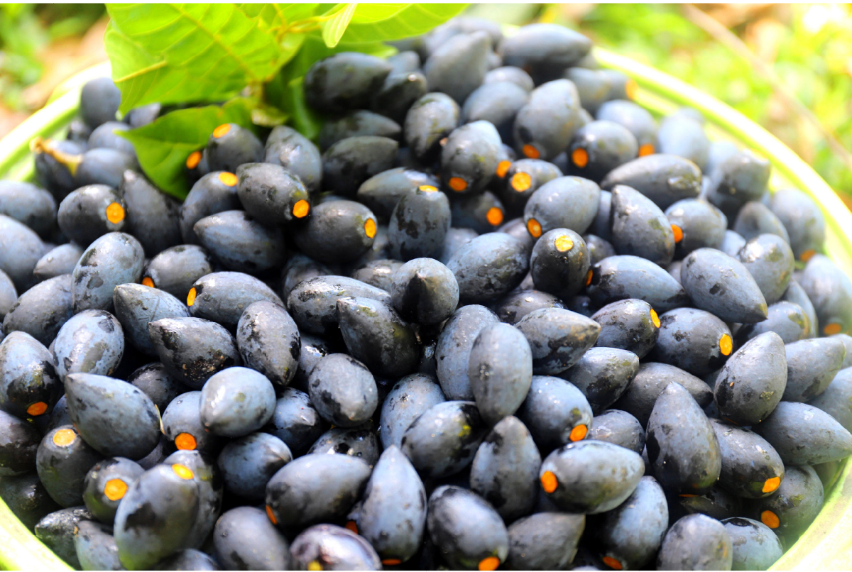 Hà Tĩnh vào mùa thu hoạch quả trám đen ảnh 5