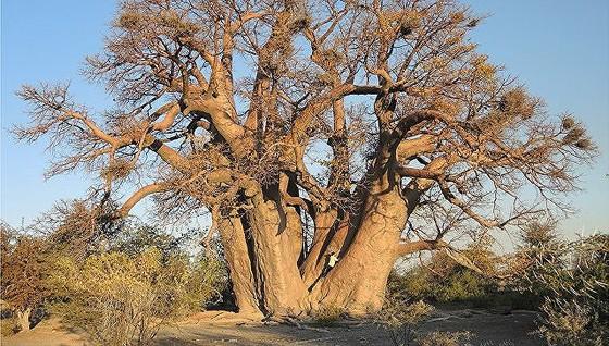 Cây baobab - Biểu tượng của châu Phi chết hàng loạt  ảnh 1