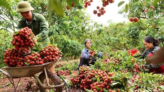 Vải thiều - hình mẫu tiêu thụ nông sản mùa dịch?  ảnh 1