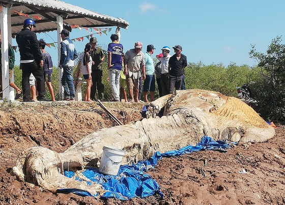 Bạc Liêu: Phát hiện cá ông hàng chục tấn chết trôi dạt vào bờ biển ảnh 1