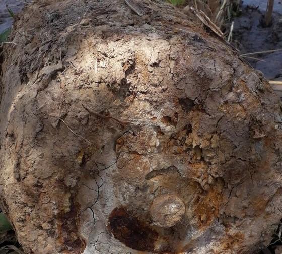Xe cuốc đào trúng quả bom nặng hàng trăm kg trong khu vực đất rừng U Minh Hạ ảnh 1