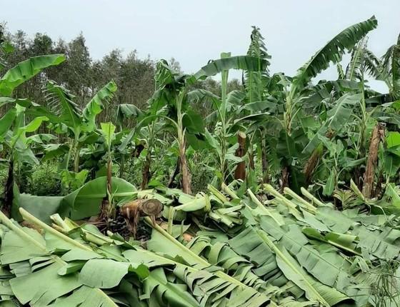 Trên 1.470 ha chuối vùng U Minh Hạ (Cà Mau) và U Minh Thượng (Kiên Giang) bị thiệt hại do ảnh hưởng bão số 2 ảnh 1