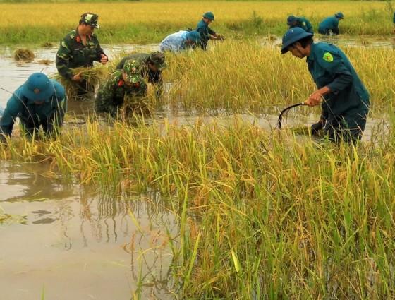 Cà Mau: Bộ đội giúp dân thu hoạch lúa bị ngập úng kéo dài ảnh 1