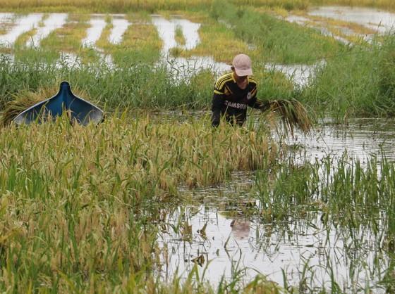 Hơn 1.400 ha lúa hè thu ở Cà Mau bị mất trắng ảnh 1