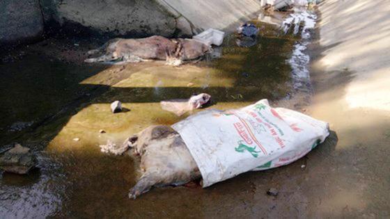 Vứt gia súc, gia cầm mắc bệnh, chết ra môi trường bị phạt 5-6 triệu đồng ảnh 1