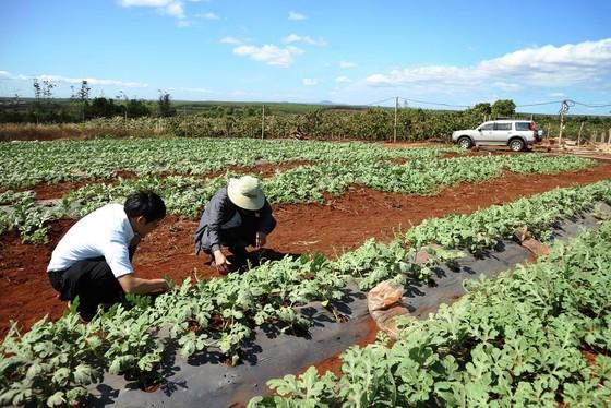 Xuất khẩu hạt giống dưa hấu Việt Nam qua Nhật Bản ảnh 1