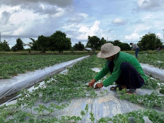 Xuất khẩu hạt giống dưa hấu Việt Nam qua Nhật Bản ảnh 2