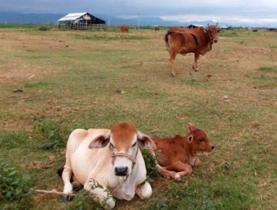 Không hỗ trợ cây trồng, vật nuôi đã thực hiện nhưng kém hiệu quả ảnh 2