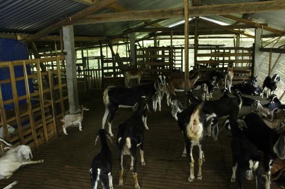 Quảng Ngãi: Phòng, chống rét cho gia súc, gia cầm ảnh 1