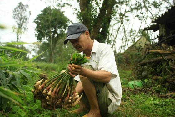 Quảng Ngãi: Gừng tết được giá, nông dân thu chục triệu ảnh 4