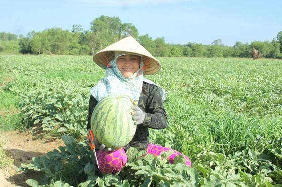 Lần đầu tiên nông dân Quảng Ngãi trồng dưa sạch không hạt ảnh 1