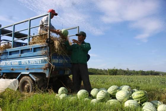 Lần đầu tiên nông dân Quảng Ngãi trồng dưa sạch không hạt ảnh 2