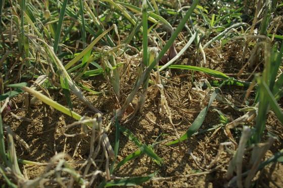 Sâu hại hành lá, khiến nông dân lo lắng ảnh 2