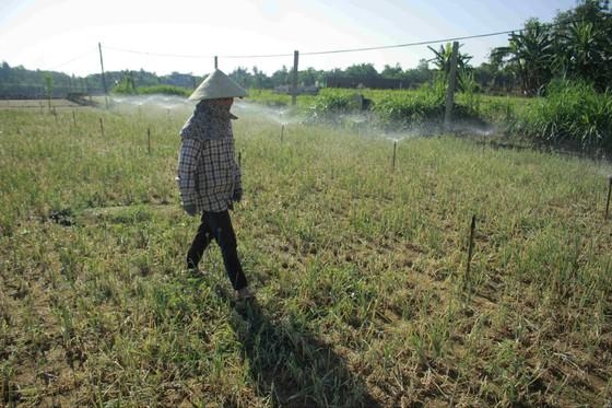 Sâu hại hành lá, khiến nông dân lo lắng ảnh 1
