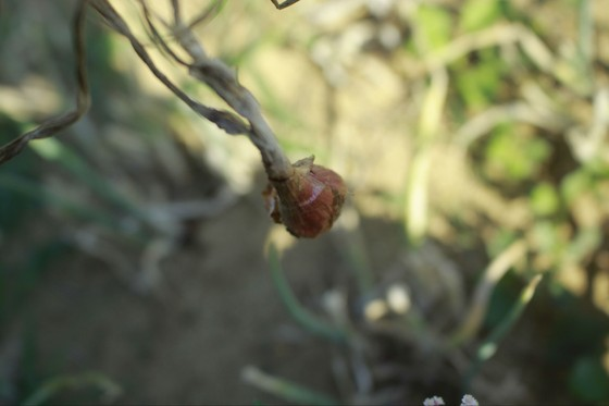 Sâu hại hành lá, khiến nông dân lo lắng ảnh 5
