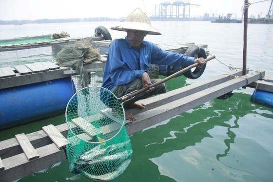 Cá nuôi lồng bè chết hàng loạt, người nuôi bán tháo giá rẻ ảnh 2