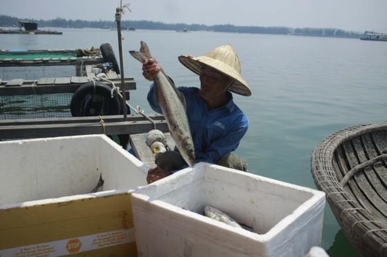 Cá nuôi lồng bè chết hàng loạt, người nuôi bán tháo giá rẻ ảnh 3
