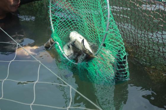 Cá nuôi lồng bè chết hàng loạt, người nuôi bán tháo giá rẻ ảnh 4