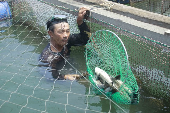 Cá nuôi lồng bè chết hàng loạt, người nuôi bán tháo giá rẻ ảnh 1