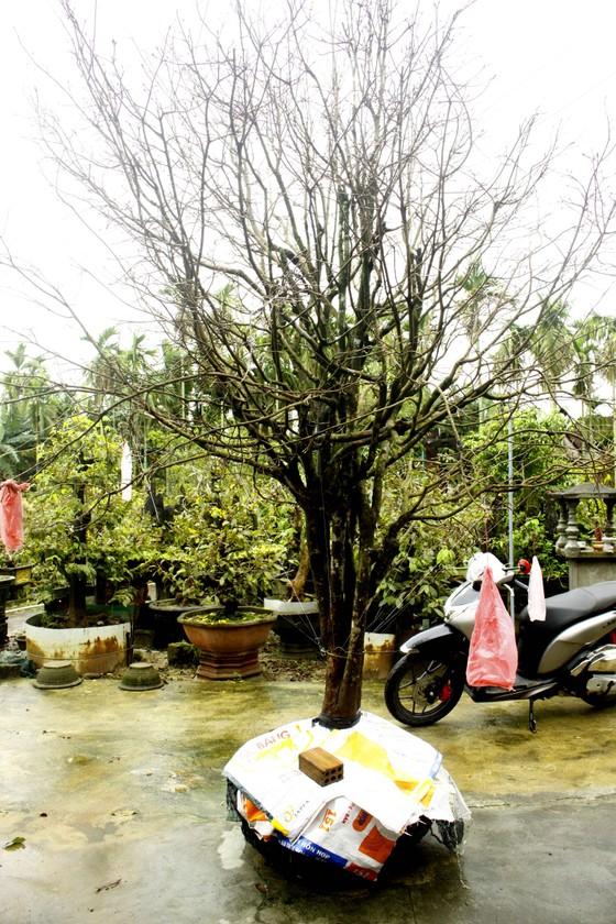 Quảng Ngãi: Mưa lạnh kéo dài, hoa mai nở sớm ảnh 7