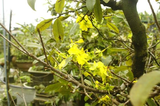 Quảng Ngãi: Mưa lạnh kéo dài, hoa mai nở sớm ảnh 4