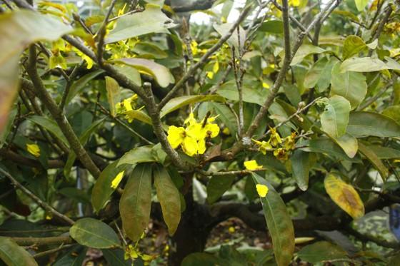 Quảng Ngãi: Mưa lạnh kéo dài, hoa mai nở sớm ảnh 5