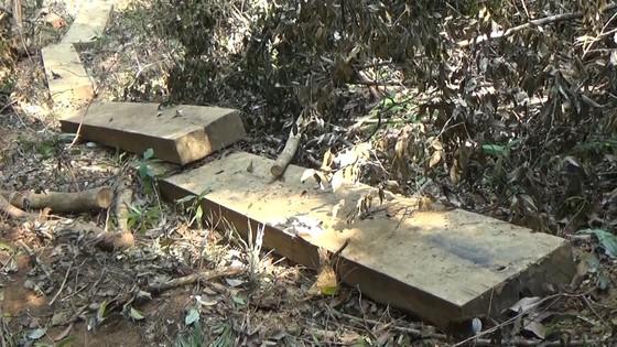 Truy quét vụ phá rừng phòng hộ suối Trà Veo ảnh 1