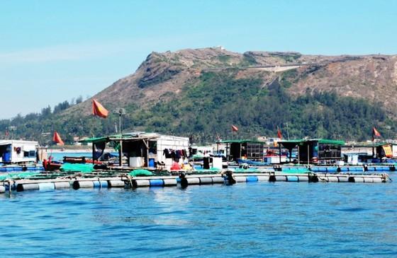 Quảng Ngãi: Cá bớp nuôi lồng bè đảo Lý Sơn chết bất thường ảnh 2