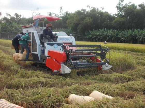 Quảng Ngãi: Khẩn trương thu hoạch trước bão Podul ảnh 1