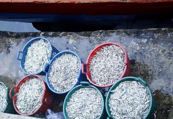 Ngư dân Quảng Ngãi vui mùa cá cơm đến sớm ảnh 5