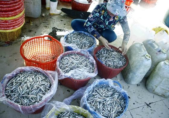 Ngư dân Quảng Ngãi vui mùa cá cơm đến sớm ảnh 2