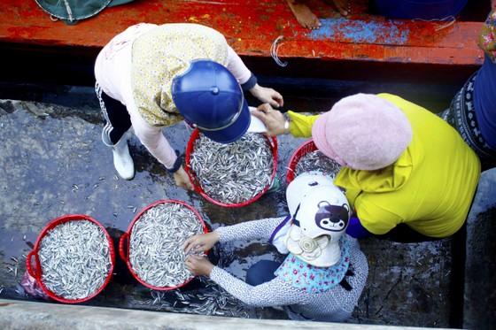 Ngư dân Quảng Ngãi vui mùa cá cơm đến sớm ảnh 6