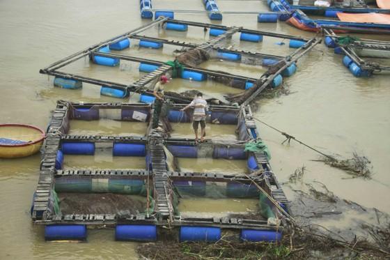 Lũ bùn đổ về, cá chẽm nuôi sông Trà Bồng chết hàng loạt ảnh 1