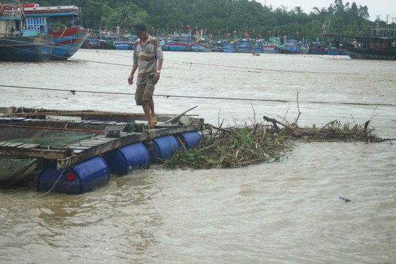 Lũ bùn đổ về, cá chẽm nuôi sông Trà Bồng chết hàng loạt ảnh 4