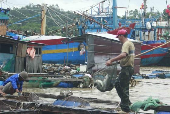 Lũ bùn đổ về, cá chẽm nuôi sông Trà Bồng chết hàng loạt ảnh 2