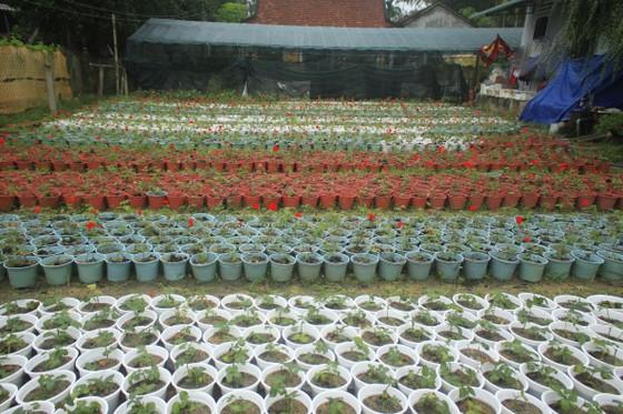 Mê mẩn hoa hồng rộ nở ở làng hoa Nghĩa Hiệp ảnh 13
