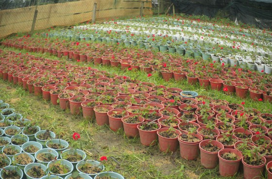 Mê mẩn hoa hồng rộ nở ở làng hoa Nghĩa Hiệp ảnh 14