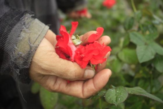 Mê mẩn hoa hồng rộ nở ở làng hoa Nghĩa Hiệp ảnh 15