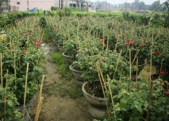 Mê mẩn hoa hồng rộ nở ở làng hoa Nghĩa Hiệp ảnh 9