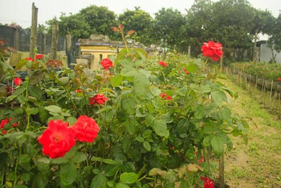 Mê mẩn hoa hồng rộ nở ở làng hoa Nghĩa Hiệp ảnh 5