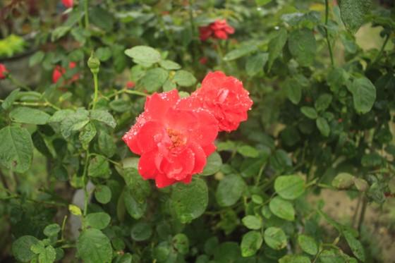 Mê mẩn hoa hồng rộ nở ở làng hoa Nghĩa Hiệp ảnh 6