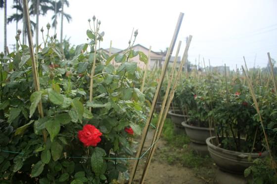 Mê mẩn hoa hồng rộ nở ở làng hoa Nghĩa Hiệp ảnh 1