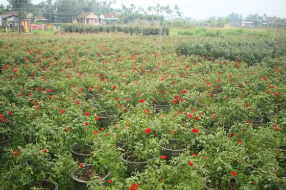 Mê mẩn hoa hồng rộ nở ở làng hoa Nghĩa Hiệp ảnh 4