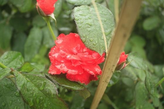Mê mẩn hoa hồng rộ nở ở làng hoa Nghĩa Hiệp ảnh 7