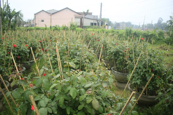 Mê mẩn hoa hồng rộ nở ở làng hoa Nghĩa Hiệp ảnh 8